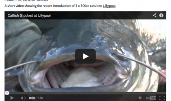 Video of Catfish stocked at Lillypool