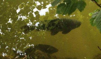 carp at surface