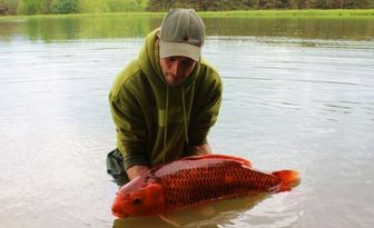 Koi carp from French lake Boux