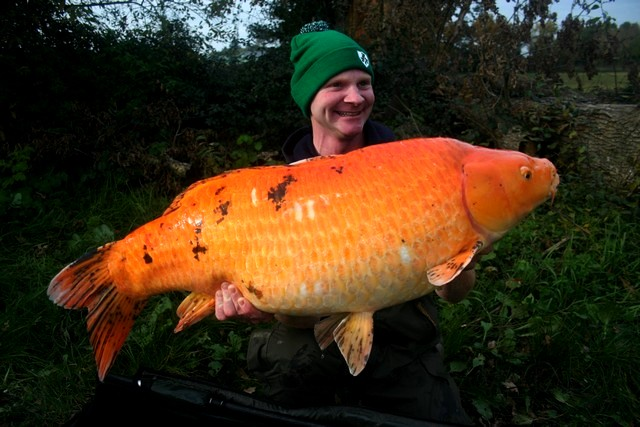 Image gallery orange koi carp for Giant koi fish