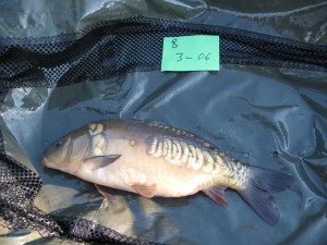 Stocked in January 2011 at 3lb 6oz