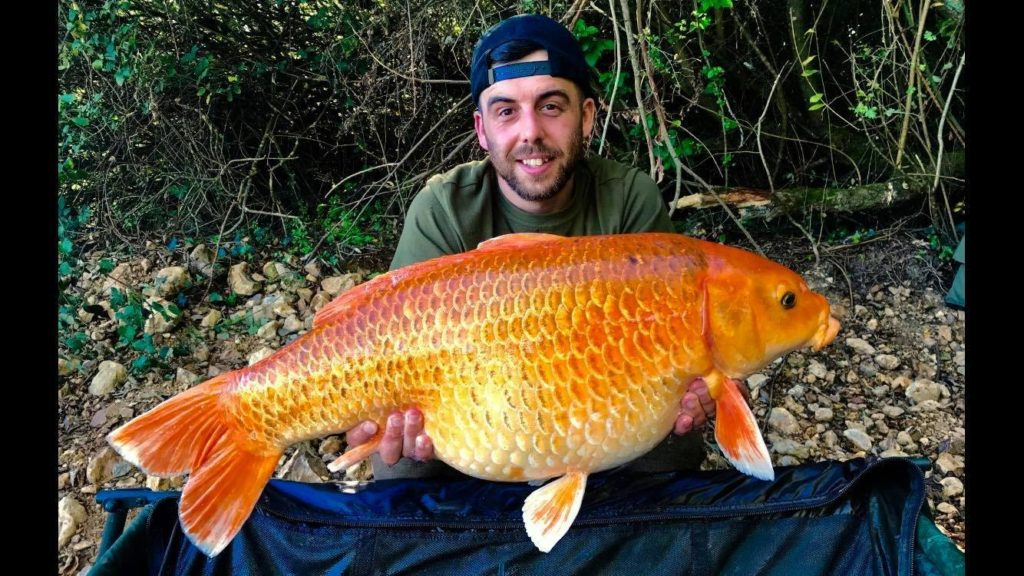 big koi carp in France